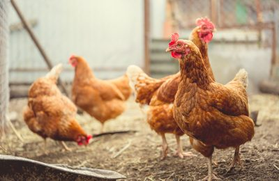 A Beginner's Guide to Raising Chickens